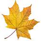 Осенняя окраска – желтая