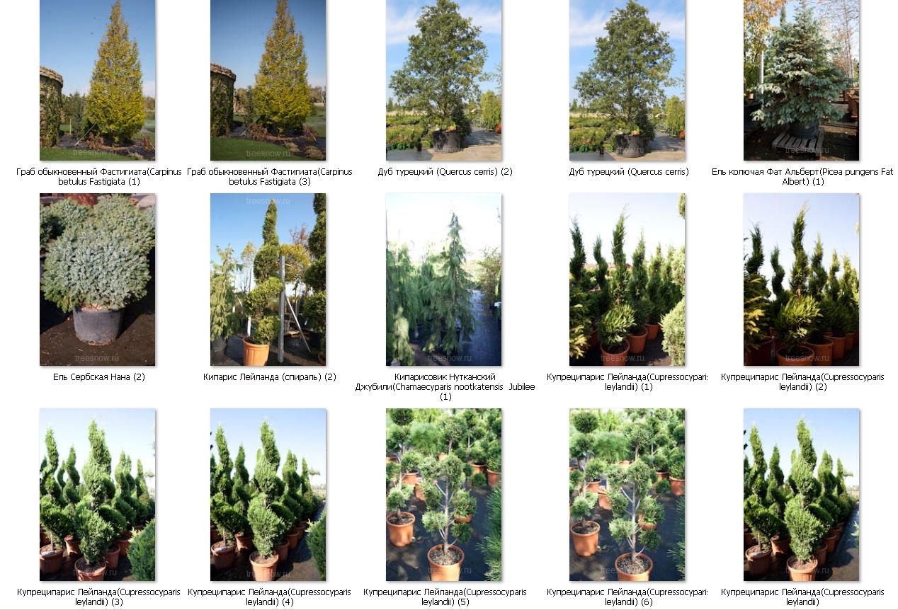 Выбор деревьев крупномеров растений