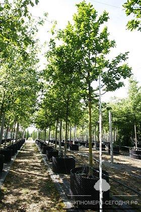 Продажа и посадка деревьев